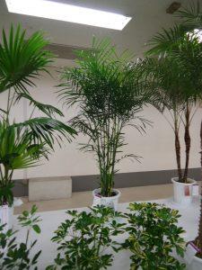 観葉植物の部(チャマエドレア・セフリジー)