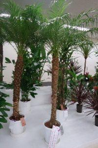 観葉植物の部(フェニックス・ロベレニー)