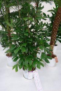 観葉植物の部(チャボヤシ)