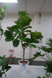 観葉植物の部(カシワバゴムノキ)