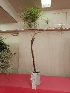 観葉植物の部(ドラセナ・コンシンネ)
