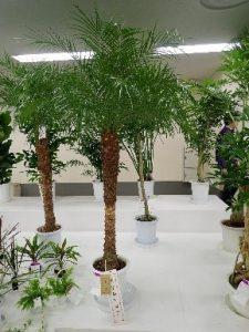 観葉植物の部(フェニックス・ロべレニー)